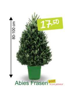 kerstboom in pot Abies Fraseri groot