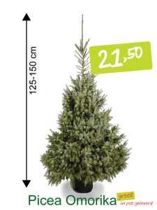 kerstboom in pot Picae Omorika