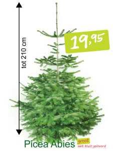 kerstboom in pot Picae Abies groot