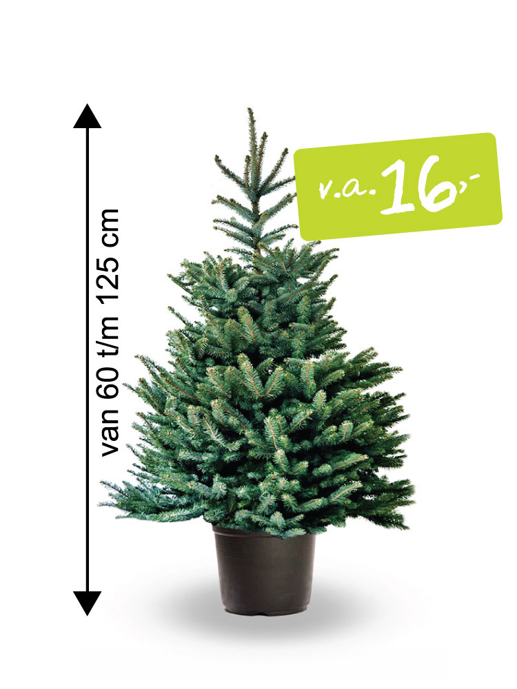 Abies Fraseri in pot